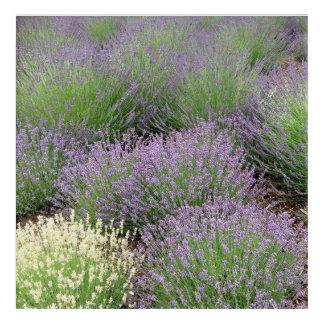 Reizender Lavendel Acryldruck