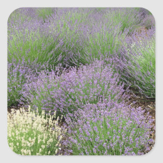 Reizender Lavendel Quadratischer Aufkleber