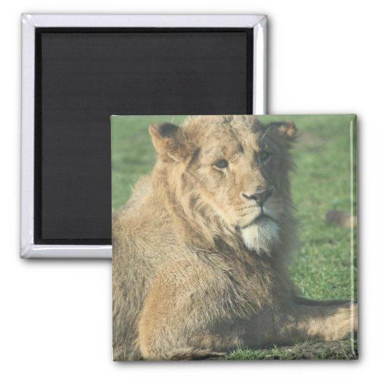 Reizender Löwe Quadratischer Magnet
