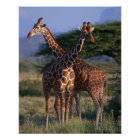 Retikulierte Giraffe 2 Poster