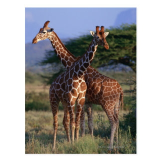 Retikulierte Giraffe 2 Postkarte