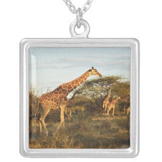 Retikulierte Giraffen, Giraffe camelopardalis 2 Versilberte Kette