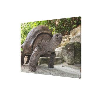 Riesige Aldabra Schildkröte Leinwanddruck