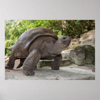 Riesige Aldabra Schildkröte Poster