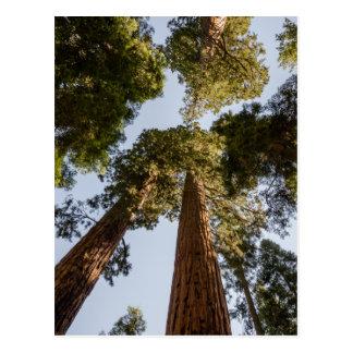 Riesige Mammutbäume im Mammutbaum-Nationalpark Postkarte