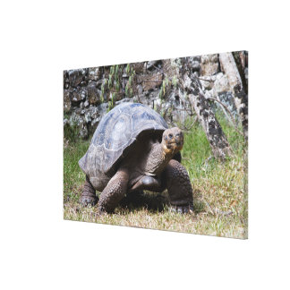 Riesige Schildkröte | Galapagos Leinwanddruck