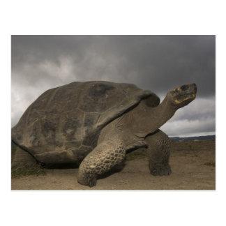 Riesige SchildkröteGeochelone Galapagos Postkarte