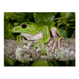 Riesiger gleitener Frosch, Polypedates dennysi Postkarte