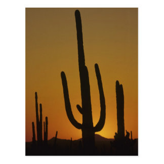 Riesiges Saguarokaktus Säulenkaktus giganteus), Postkarte