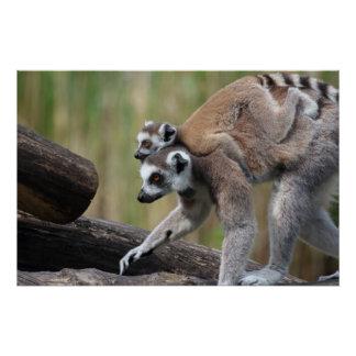 Ring-Angebundene Lemur-Mutter und Baby Poster