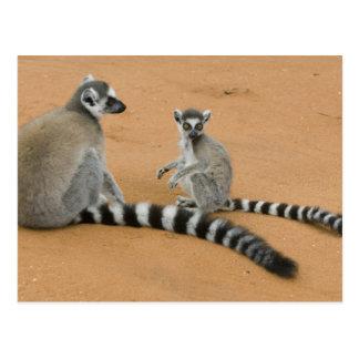 Ring-angebundene Lemurs, (Lemur catta), Berenty Postkarte