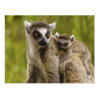 Ring-angebundene Lemurs (Lemur catta) Mutter u. Postkarte