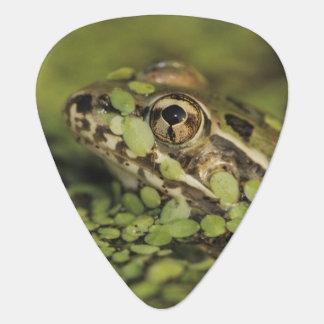 Rio Grande-Leopard-Frosch, Rana berlandieri, Plektron