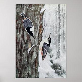 Robert Bruce Horsfall - Weißer-Breasted Kleiber Poster