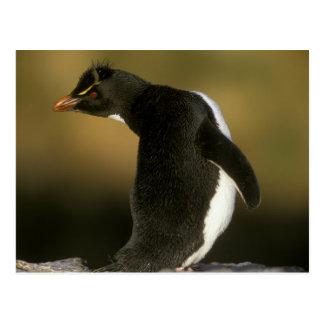 Rockhopper Pinguin, Eudyptes chrysocome), Postkarte