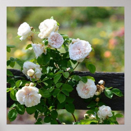 Romantische weiße Rosen Plakat