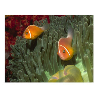 Rosa Anemonefish in der Magnificant Seeanemone Postkarte