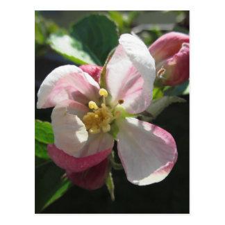 Rosa Apfelblüten Postkarte