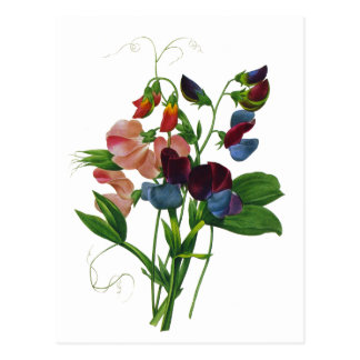 Rosa blaue und lila süße Erbsen durch Redoute Postkarte