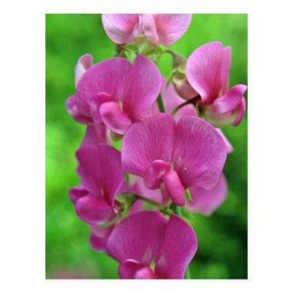 Rosa Blumen der süßen Erbse Postkarte