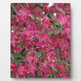 Rosa Blumen des Apfels Fotoplatten