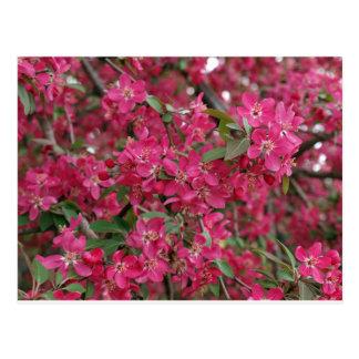 Rosa Blumen des Apfels Postkarte