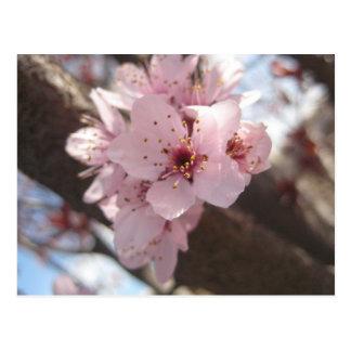 Rosa Blumen - Pflaumen-Baum Postkarte
