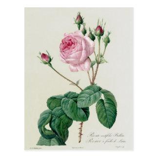 Rosa Centifolia Bullata Postkarte