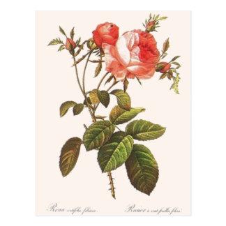 Rosa Centifolia Foliacea Postkarte