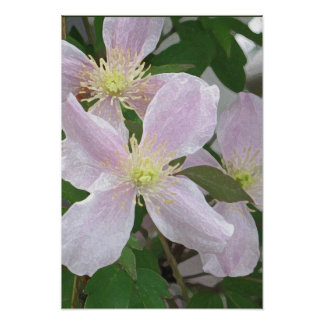 Rosa Clematis Poster