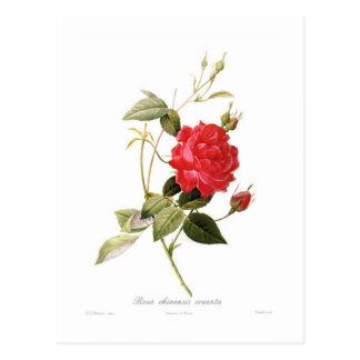 Rosa cruenta chinensis postkarte