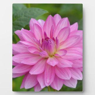 Rosa Dahlie-Schönheit Fotoplatte