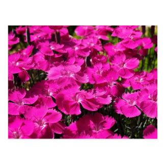 Rosa Dianthus-Blumen Postkarte