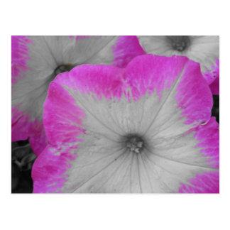 Rosa eingefaßte Schwarzweiss-Petunien Postkarte