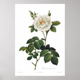 Rosa flore Plenum alba Poster