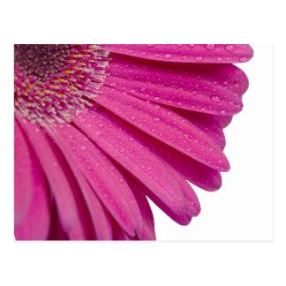 Rosa Gänseblümchen-Blume mit den Wassertröpfchen Postkarte