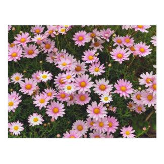 Rosa Gänseblümchen mit gelben Mitten Postkarte