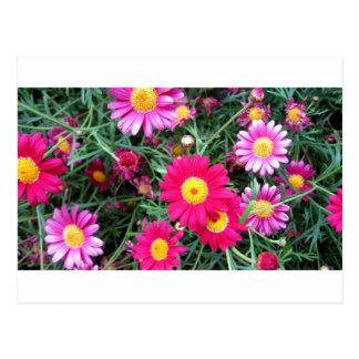 Rosa Gänseblümchen Postkarte