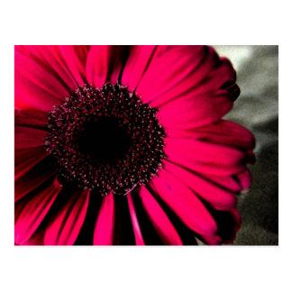 Rosa Gänseblümchen-Postkarte Postkarte