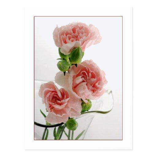 Rosa Gartennelken-Fotografie Postkarte