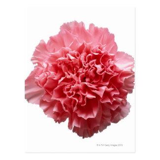 Rosa Gartennelken-Nahaufnahme Postkarte