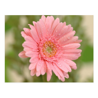 Rosa Gerbera-Gänseblümchen-Blumen-Gruß-Postkarte Postkarte