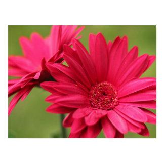 Rosa Gerbera-Gänseblümchen Postkarte