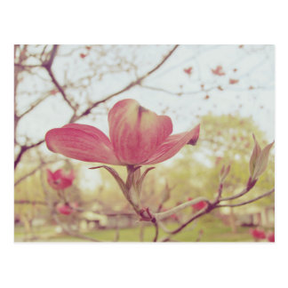 Rosa Hartriegel-Blume Postkarte