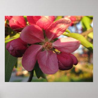 Rosa Holzapfel-Baum-Blume Poster