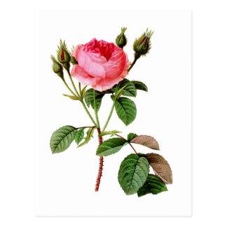 Rosa Kohl-Rose durch Pierre Joseph Redoute Postkarte