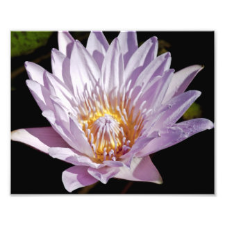 Rosa Lilien-Blüte Photodruck