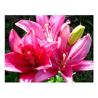 Rosa Lilien in der Blüte Postkarte