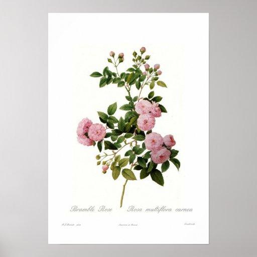 Rosa multiflora carnea (Brombeerstrauch-Rose) Poster