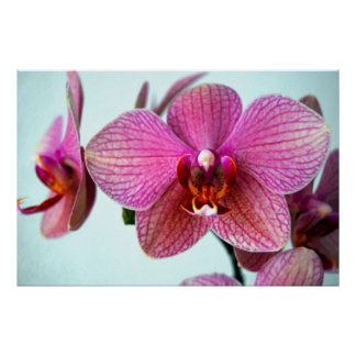 Rosa Orchideen Poster